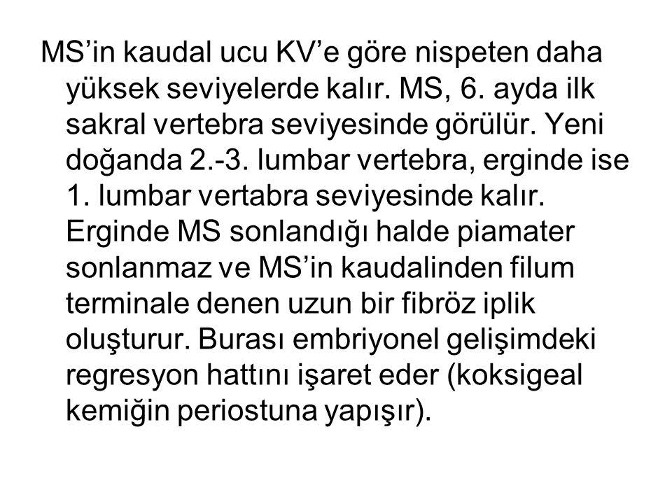 MS'in kaudal ucu KV'e göre nispeten daha yüksek seviyelerde kalır. MS, 6. ayda ilk sakral vertebra seviyesinde görülür. Yeni doğanda 2.-3. lumbar vert