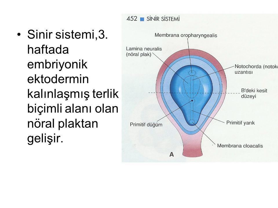 Sinir sistemi,3. haftada embriyonik ektodermin kalınlaşmış terlik biçimli alanı olan nöral plaktan gelişir.