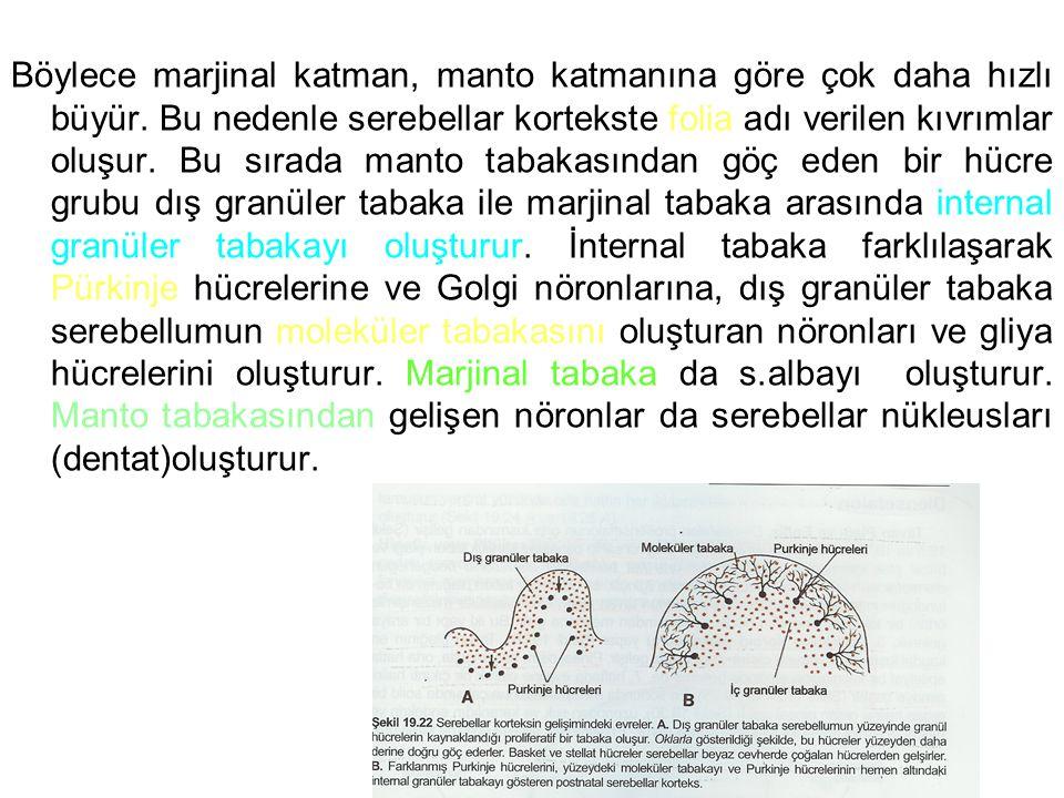 Böylece marjinal katman, manto katmanına göre çok daha hızlı büyür. Bu nedenle serebellar kortekste folia adı verilen kıvrımlar oluşur. Bu sırada mant