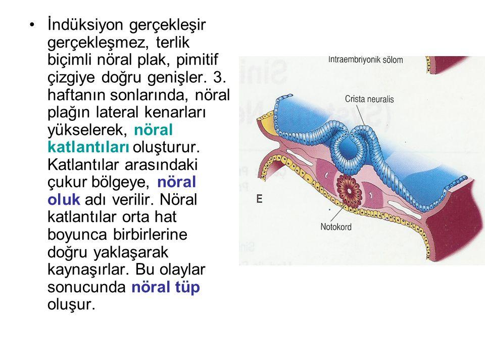 İndüksiyon gerçekleşir gerçekleşmez, terlik biçimli nöral plak, pimitif çizgiye doğru genişler. 3. haftanın sonlarında, nöral plağın lateral kenarları