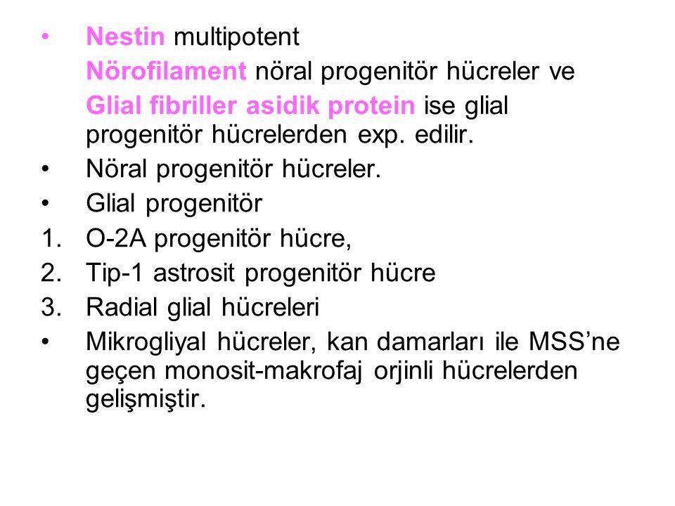 Nestin multipotent Nörofilament nöral progenitör hücreler ve Glial fibriller asidik protein ise glial progenitör hücrelerden exp. edilir. Nöral progen
