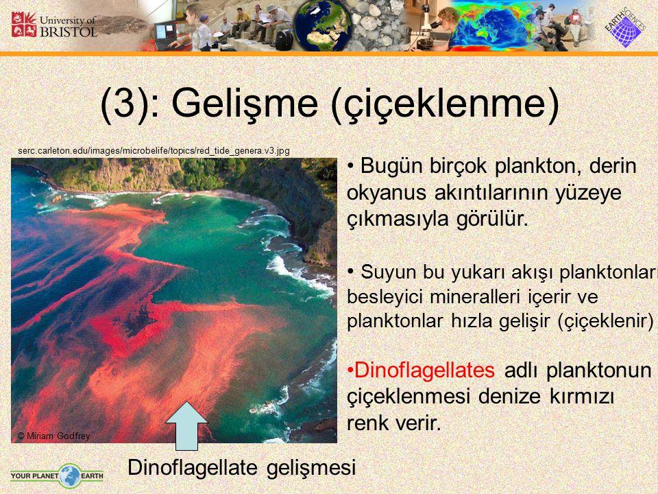(3): Gelişme (çiçeklenme) serc.carleton.edu/images/microbelife/topics/red_tide_genera.v3.jpg Bugün birçok plankton, derin okyanus akıntılarının yüzeye