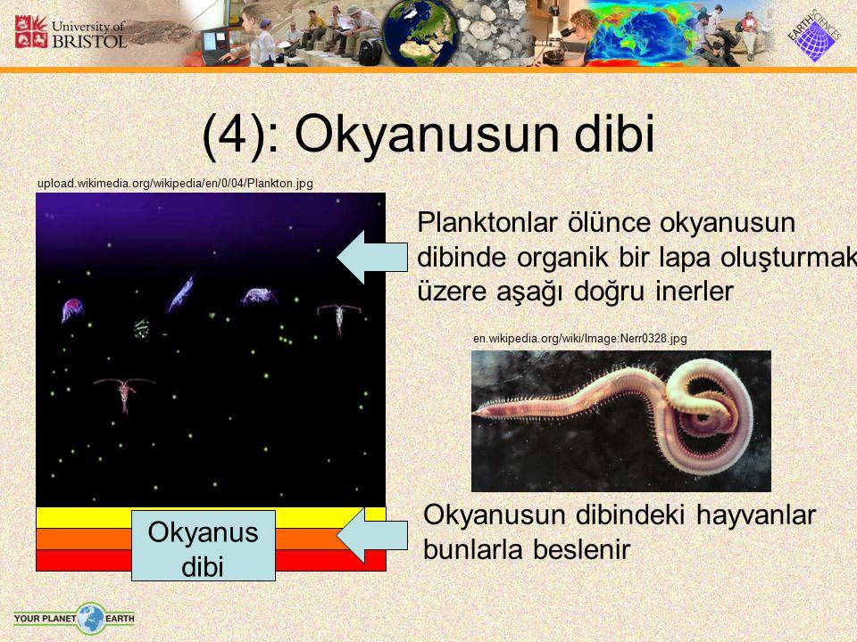 (4): Okyanusun dibi upload.wikimedia.org/wikipedia/en/0/04/Plankton.jpg Planktonlar ölünce okyanusun dibinde organik bir lapa oluşturmak üzere aşağı d