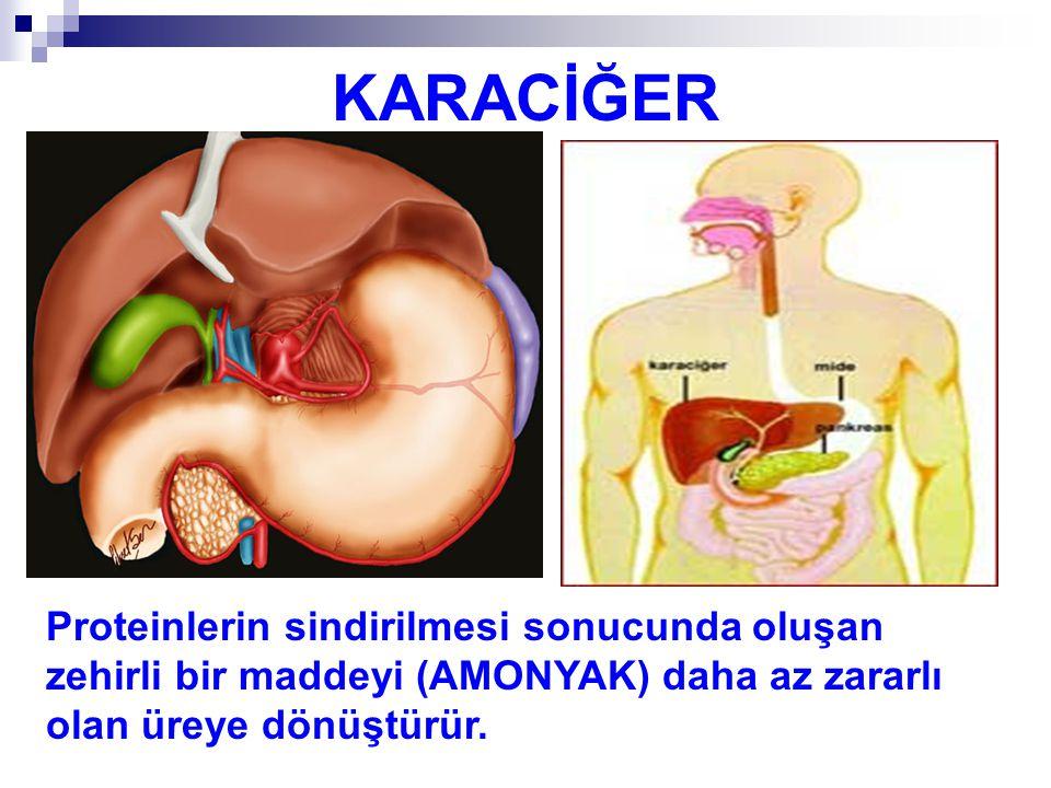 KARACİĞER Proteinlerin sindirilmesi sonucunda oluşan zehirli bir maddeyi (AMONYAK) daha az zararlı olan üreye dönüştürür.