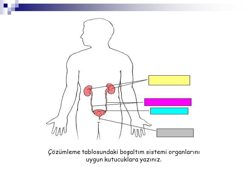Çözümleme tablosundaki boşaltım sistemi organlarını uygun kutucuklara yazınız.