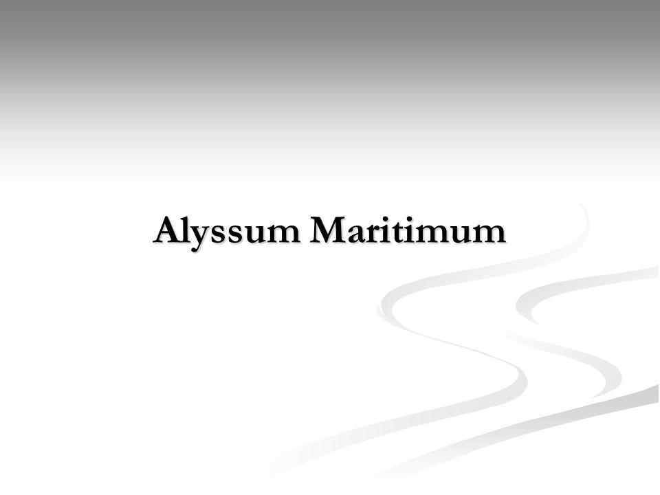 Alyssum Maritimum