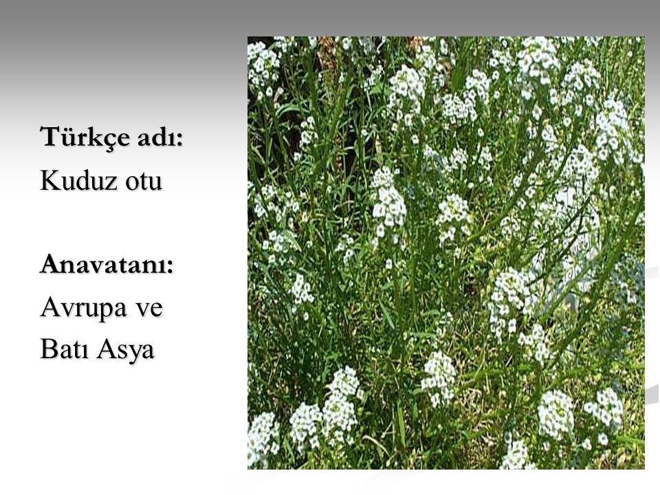 Türkçe adı: Kuduz otu Anavatanı: Avrupa ve Batı Asya