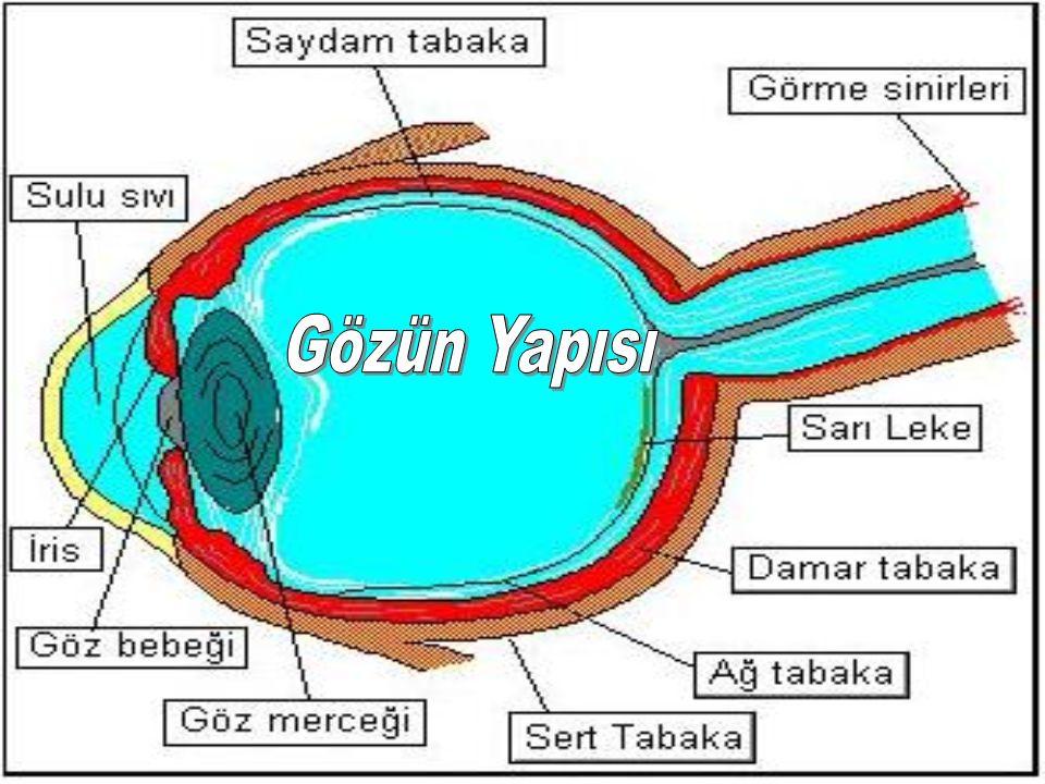 SERT TABAKA En dışta bulunan tabakadır.Sağlam bağ dokusundan oluşmuş bir tabakadır.Rengi parlak ve beyazdır.Sert tabaka gözü dış etkilerden korur.Gözün yuvarlak şeklinin bozulmasını önler.