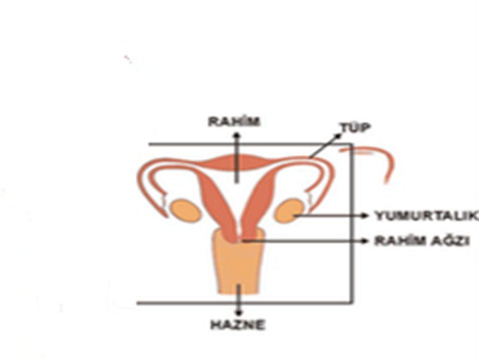 6 YUMURTALIK: Bir dişi bireyde iki tane yumurtalık vardır.Dişi üreme hücresi olan yumurtayı üretir.yumurtalıkların çalışması sinirler ve bazı hormonlarla düzenlenir.Üretilen yumurtalar burada gelişerek döllenebilecek hale gelir.