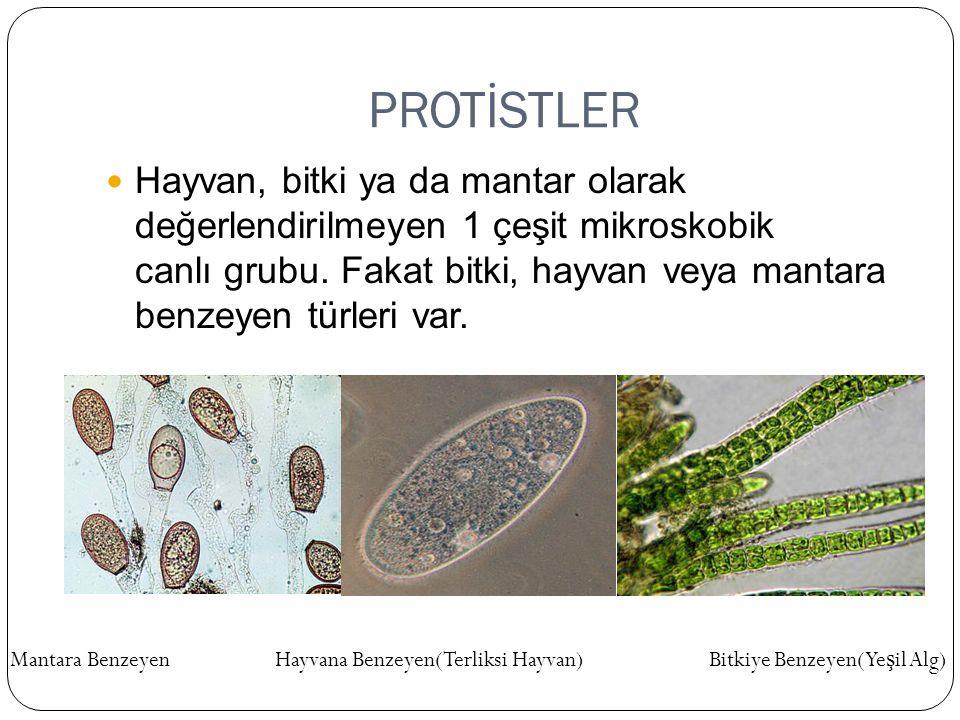 PROTİSTLER Hayvan, bitki ya da mantar olarak değerlendirilmeyen 1 çeşit mikroskobik canlı grubu. Fakat bitki, hayvan veya mantara benzeyen türleri var
