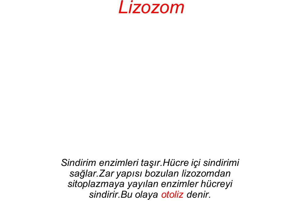 Lizozom Sindirim enzimleri taşır.Hücre içi sindirimi sağlar.Zar yapısı bozulan lizozomdan sitoplazmaya yayılan enzimler hücreyi sindirir.Bu olaya otol