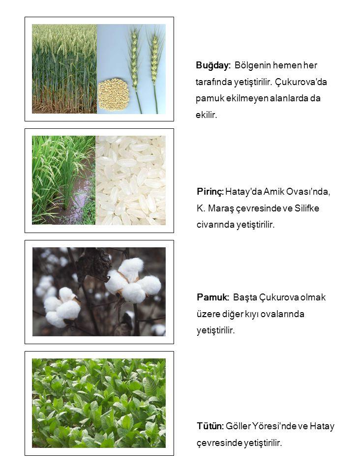 Buğday: Bölgenin hemen her tarafında yetiştirilir. Çukurova'da pamuk ekilmeyen alanlarda da ekilir. Pirinç: Hatay'da Amik Ovası'nda, K. Maraş çevresin