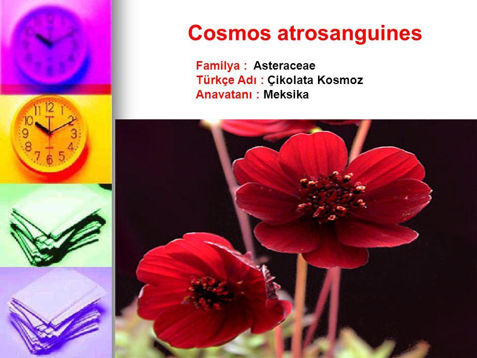 Cosmos atrosanguines Familya : Asteraceae Türkçe Adı : Çikolata Kosmoz Anavatanı : Meksika