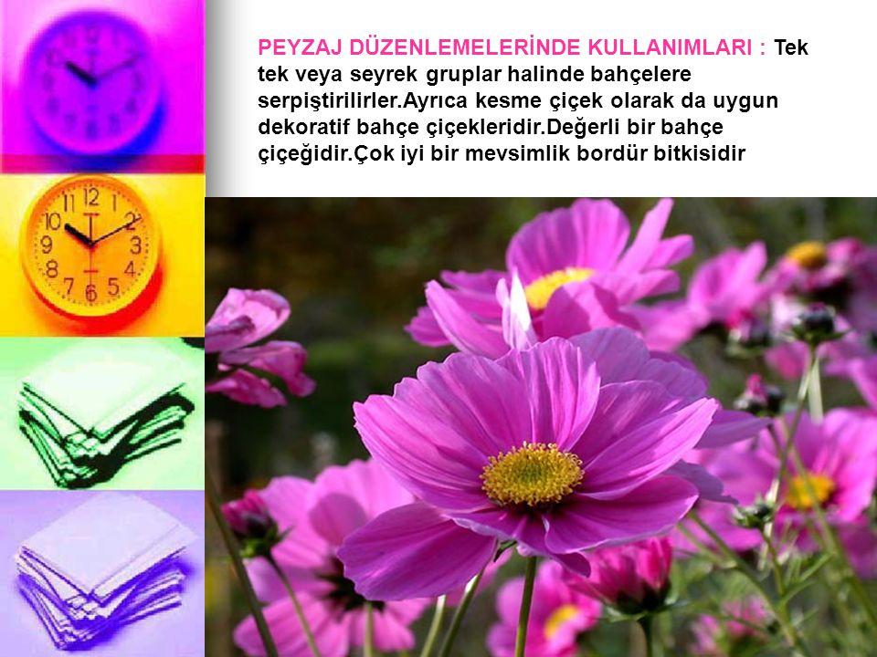 PEYZAJ DÜZENLEMELERİNDE KULLANIMLARI : Tek tek veya seyrek gruplar halinde bahçelere serpiştirilirler.Ayrıca kesme çiçek olarak da uygun dekoratif bah