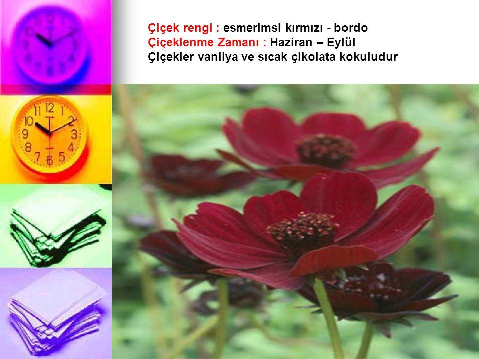 Çiçek rengi : esmerimsi kırmızı - bordo Çiçeklenme Zamanı : Haziran – Eylül Çiçekler vanilya ve sıcak çikolata kokuludur