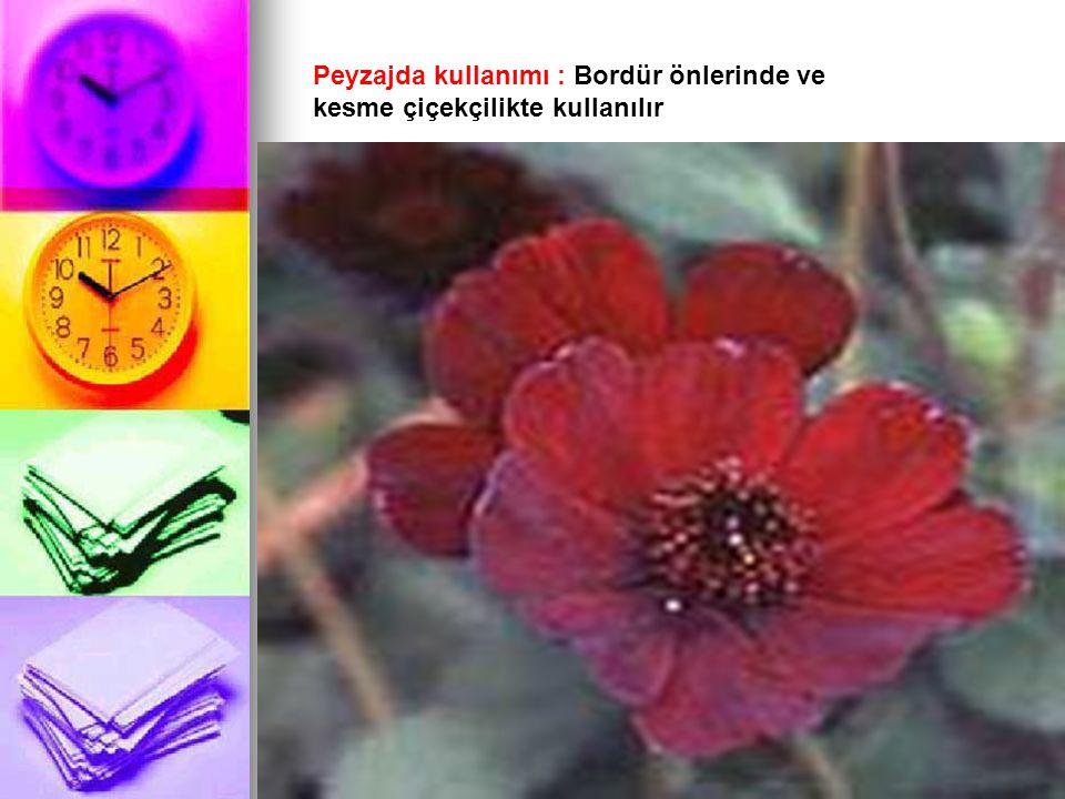 Peyzajda kullanımı : Bordür önlerinde ve kesme çiçekçilikte kullanılır