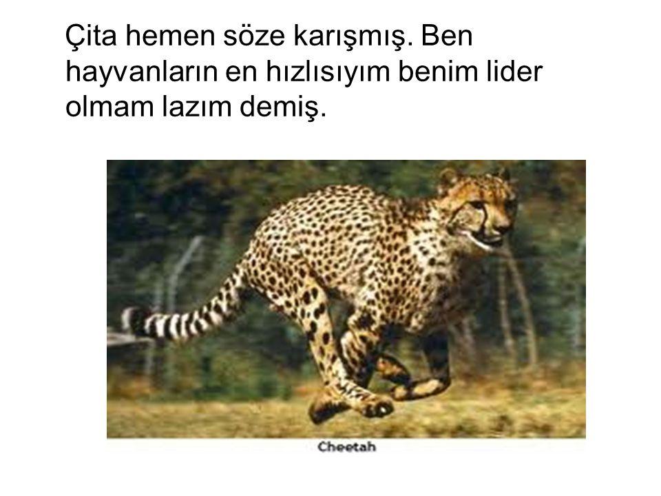 Çita hemen söze karışmış. Ben hayvanların en hızlısıyım benim lider olmam lazım demiş.