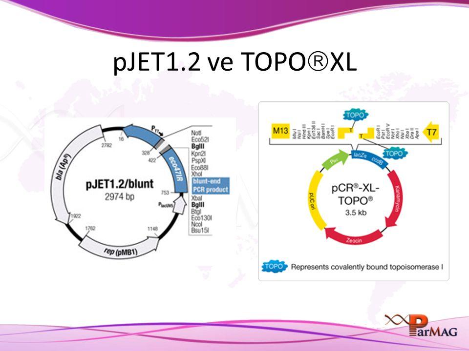 pJET1.2 ve TOPO  XL
