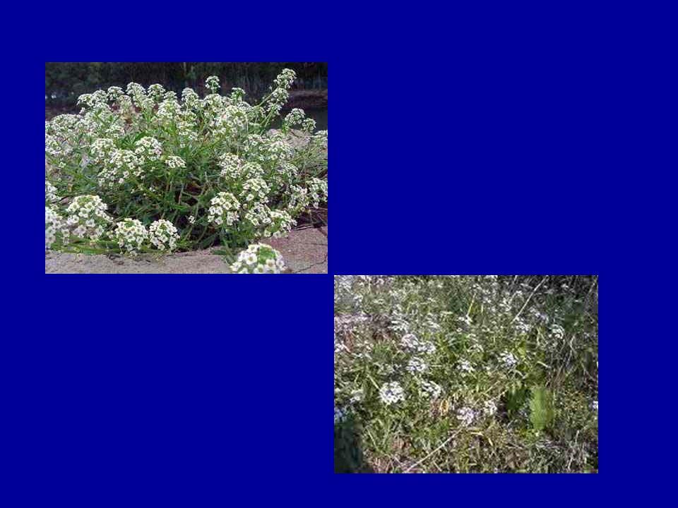 LOBULARİA MARİTİMA Toprak işlemesi: tam güneş alan verimli iyi drenaj edilmiş toprakta yetiştir.Sürekli çiçeklenme düzenli olarak soldurma ile teşvik edilebilir.İlkbaharda tohumdan çoğaltma yada açıkhavada kullanılırsa ilkbaharda tohumlar dökülebilir.
