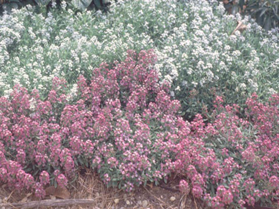 LOBULARİA MARİTİMA Bu cins, akdeniz ve kanarya adalarından kayalık bahçelerinde, çiçeklik ve kenarlarda kullanılan dona dayanıklı, bodur(cüce) 5 türden meydana gelir.