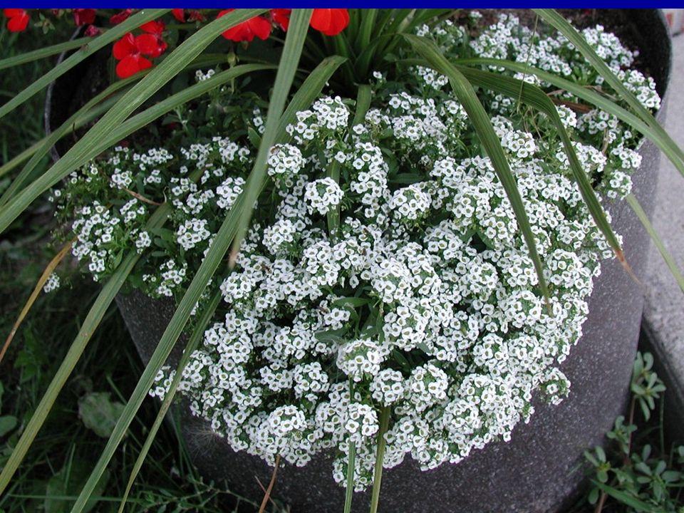 LOBULARİA MARİTİMA Yıllık ve çok yıllık formları olmasına rağmen, yıllık olanları genellikle daha çok yetiştirilmektedir.