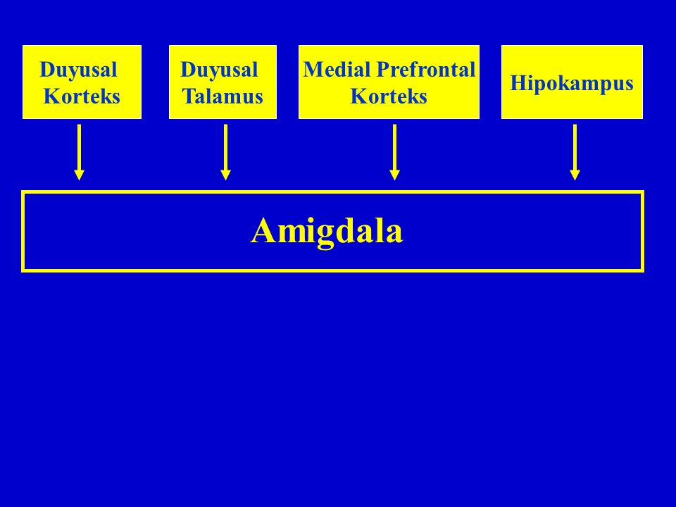 Amigdala Duyusal Korteks Duyusal Talamus Medial Prefrontal Korteks Hipokampus