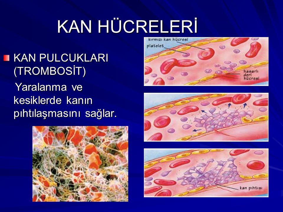 KAN HÜCRELERİ AKYUVARLAR (LÖKOSİT) Vücudun mikroplara karşı savunmasını sağlar. Vücudun mikroplara karşı savunmasını sağlar.