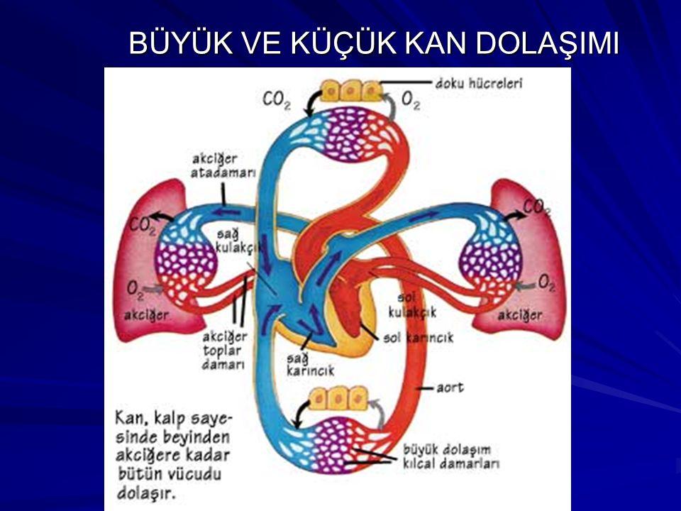 DOLAŞIM ÇEŞİTLERİ BÜYÜK KAN DOLAŞIMI : Akciğerde temizlenen kanın vücuda dağıtılıp, vücutta kirlenen kanın kalbe getirildiği dolaşım çeşididir. KÜÇÜK