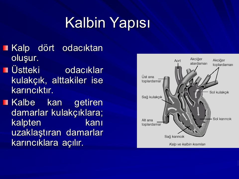 Kalbin Yapısı Kalp dört odacıktan oluşur.Üstteki odacıklar kulakçık, alttakiler ise karıncıktır.