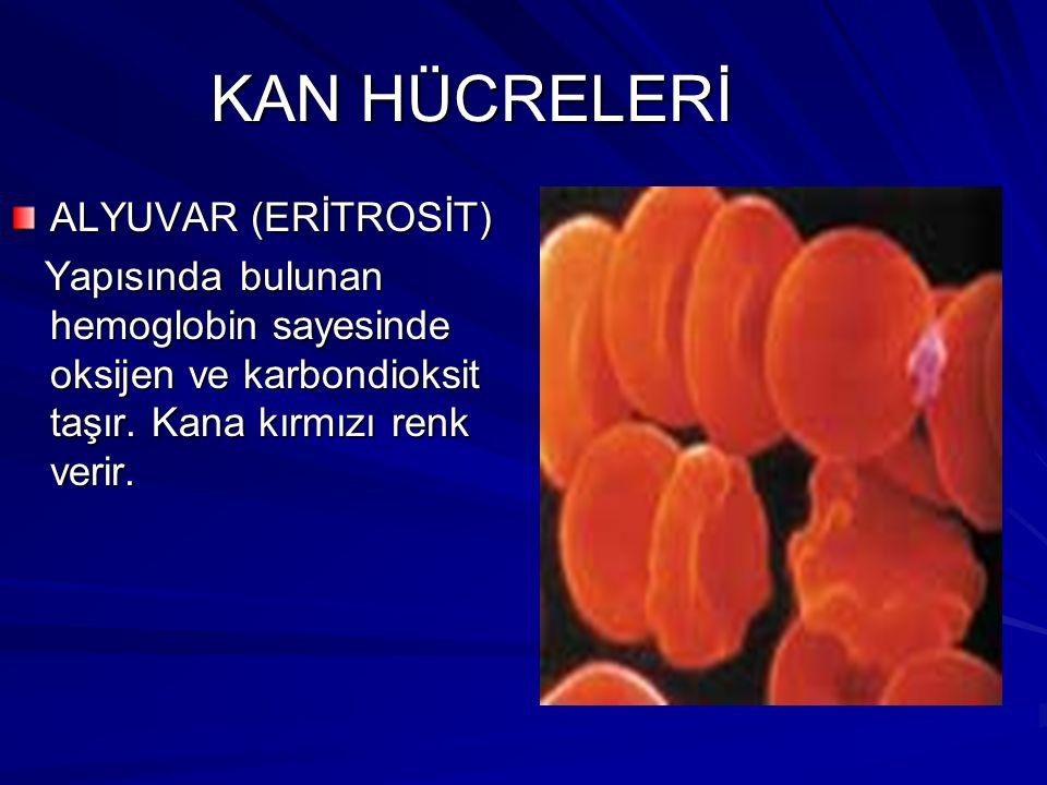 KAN HÜCRELERİ ALYUVAR (ERİTROSİT) Yapısında bulunan hemoglobin sayesinde oksijen ve karbondioksit taşır.