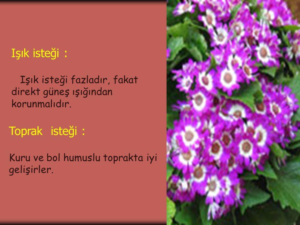 1.Gerçek Cineraria'nın yaklaşık olarak 50 türü bulunmaktadır.