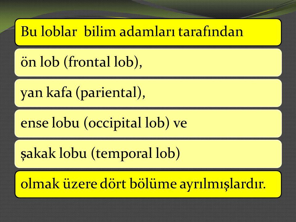 Bu loblar bilim adamları tarafındanön lob (frontal lob),yan kafa (pariental),ense lobu (occipital lob) veşakak lobu (temporal lob)olmak üzere dört böl