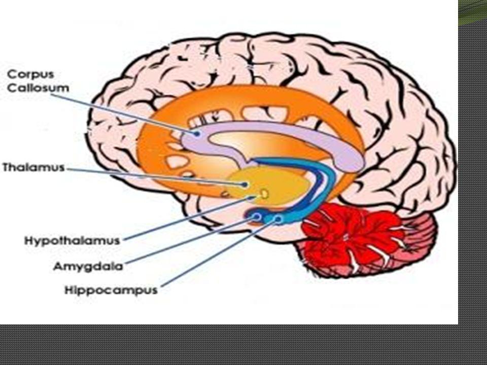 Hipokampus hipokampüs hafızanın merkezi durumundadır.