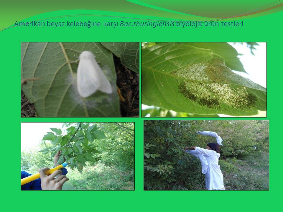 Amerikan beyaz kelebeğine karşı Bac.thuringiensis biyolojik ürün testleri