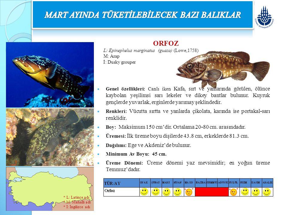 ORFOZ L: Epinephelus marginatus (guaza) (Lowe,1758) M: Arap İ: Dusky grouper Genel özellikleri: Canlı iken Kafa, sırt ve yanlarında görülen, ölünce ka
