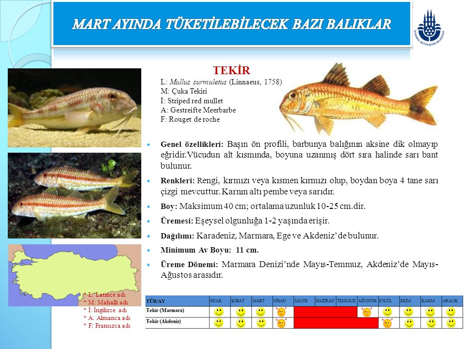 TEKİR L: Mullus surmuletus (Linnaeus, 1758) M: Çuka Tekiri İ: Striped red mullet A: Gestreifte Meerbarbe F: Rouget de roche Genel özellikleri: Başın ö