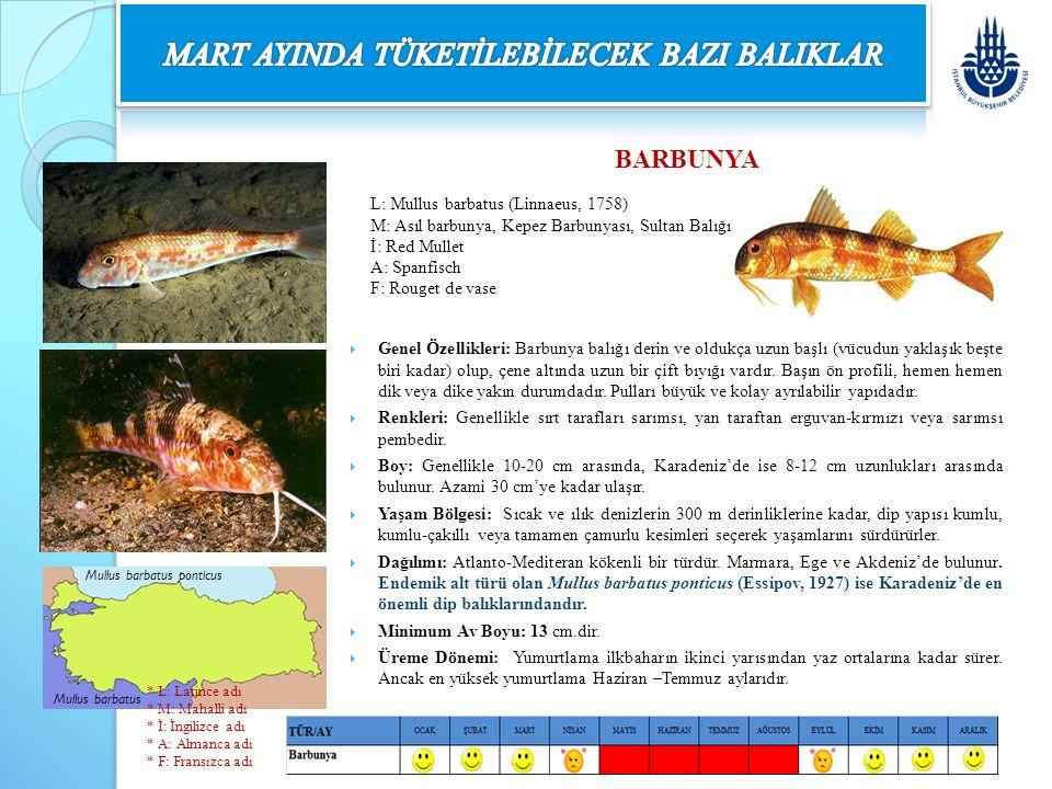 BARBUNYA  Genel Özellikleri: Barbunya balığı derin ve oldukça uzun başlı (vücudun yaklaşık beşte biri kadar) olup, çene altında uzun bir çift bıyığı