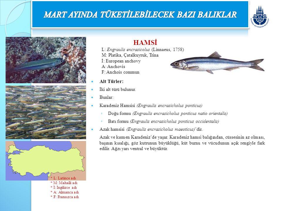 HAMSİ L: Engraulis encrasicolus (Linnaeus, 1758) M: Platika, Çatalkuyruk, Trina İ: European anchovy A: Anchovis F: Anchois commun Alt Türler: İki alt