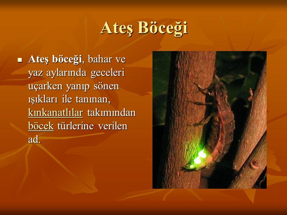 Ateş Böceği Ateş böceği, bahar ve yaz aylarında geceleri uçarken yanıp sönen ışıkları ile tanınan, kınkanatlılar takımından böcek türlerine verilen ad