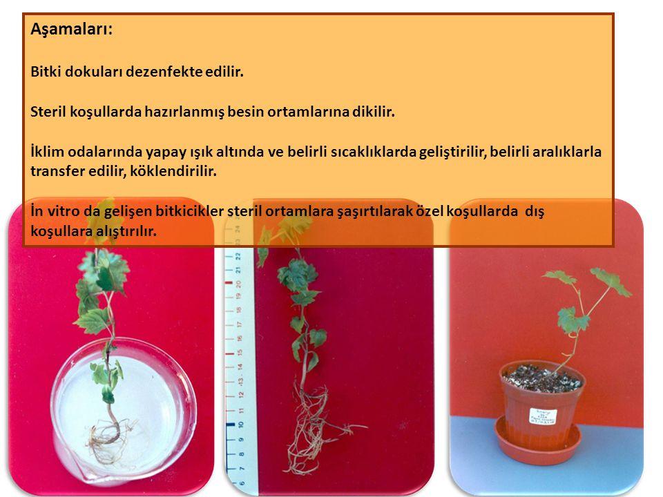 Aşamaları: Bitki dokuları dezenfekte edilir. Steril koşullarda hazırlanmış besin ortamlarına dikilir. İklim odalarında yapay ışık altında ve belirli s