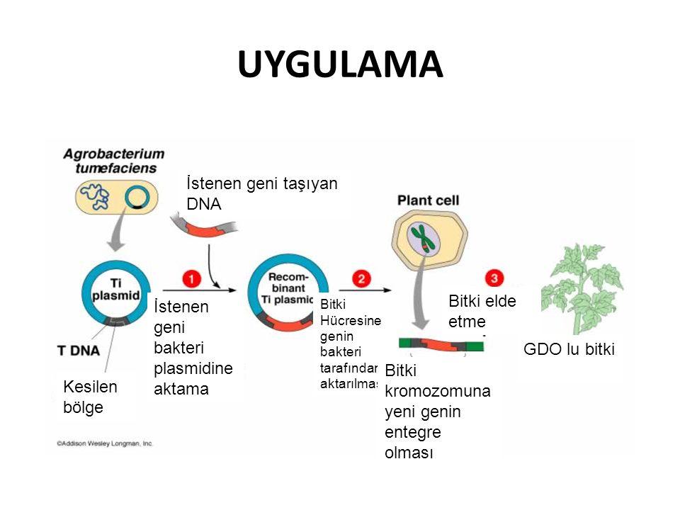 UYGULAMA İstenen geni taşıyan DNA İstenen geni bakteri plasmidine aktama Kesilen bölge Bitki Hücresine genin bakteri tarafından aktarılması Bitki krom
