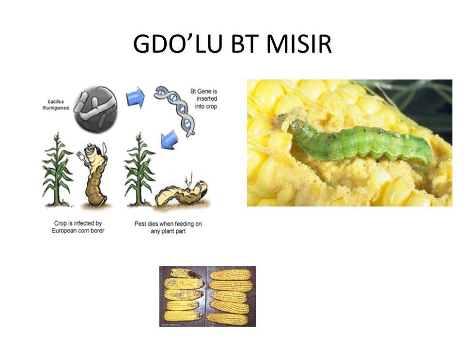 GDO'LU BT MISIR