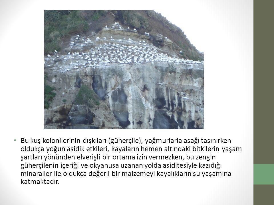 Bu kuş kolonilerinin dışkıları (güherçile), yağmurlarla aşağı taşınırken oldukça yoğun asidik etkileri, kayaların hemen altındaki bitkilerin yaşam şar