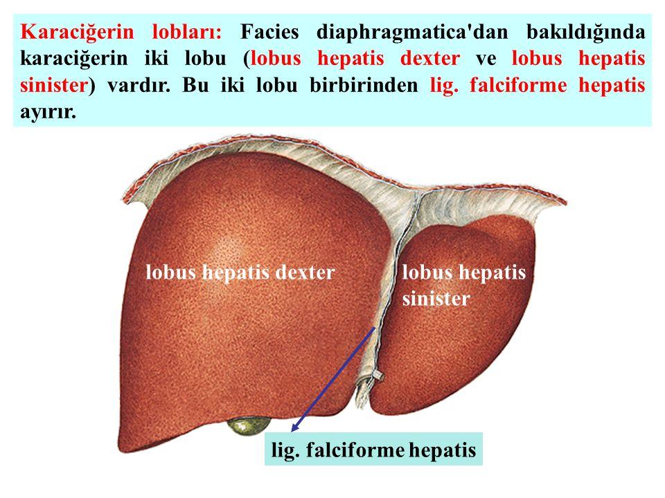 Karaciğerin lobları: Facies diaphragmatica'dan bakıldığında karaciğerin iki lobu (lobus hepatis dexter ve lobus hepatis sinister) vardır. Bu iki lobu