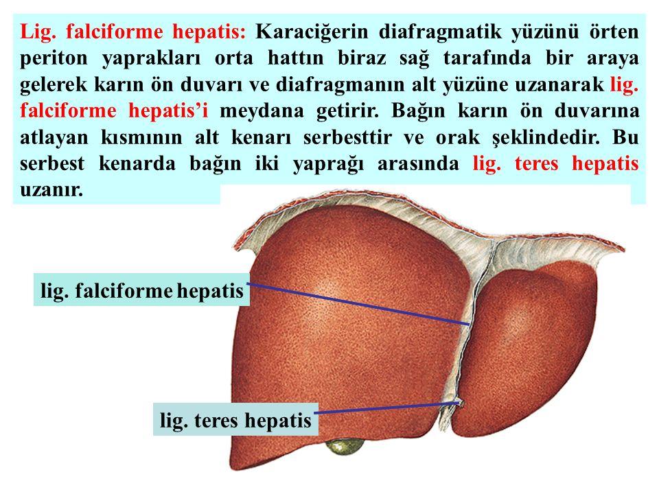 Lig. falciforme hepatis: Karaciğerin diafragmatik yüzünü örten periton yaprakları orta hattın biraz sağ tarafında bir araya gelerek karın ön duvarı ve