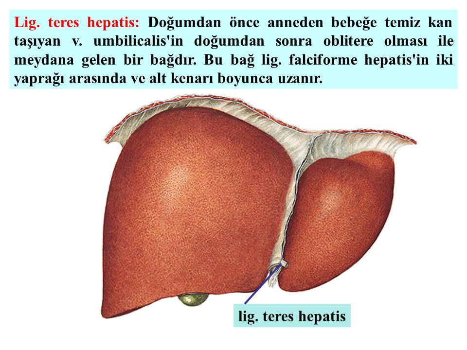 Lig. teres hepatis: Doğumdan önce anneden bebeğe temiz kan taşıyan v. umbilicalis'in doğumdan sonra oblitere olması ile meydana gelen bir bağdır. Bu b