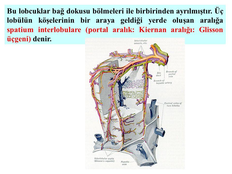 Bu lobcuklar bağ dokusu bölmeleri ile birbirinden ayrılmıştır. Üç lobülün köşelerinin bir araya geldiği yerde oluşan aralığa spatium interlobulare (po