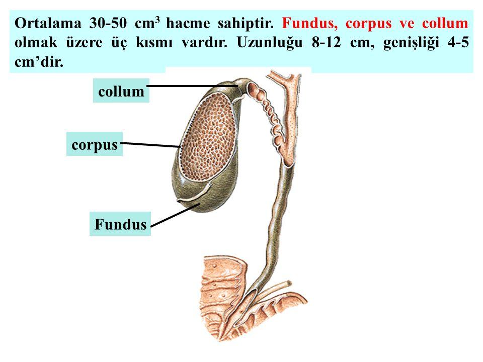 Ortalama 30-50 cm 3 hacme sahiptir. Fundus, corpus ve collum olmak üzere üç kısmı vardır. Uzunluğu 8-12 cm, genişliği 4-5 cm'dir. Fundus corpus collum