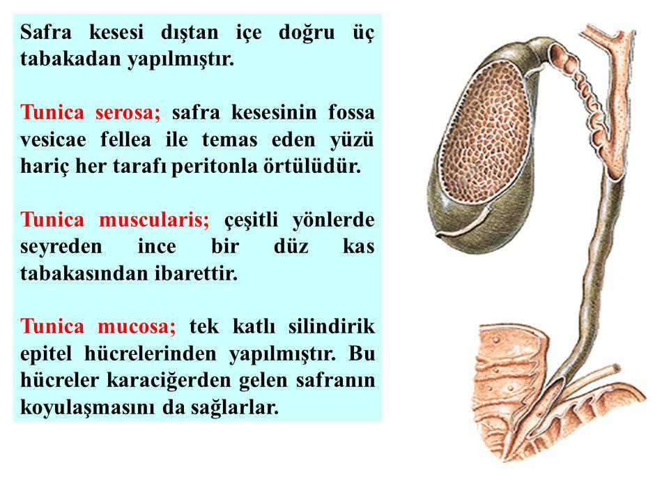 Safra kesesi dıştan içe doğru üç tabakadan yapılmıştır. Tunica serosa; safra kesesinin fossa vesicae fellea ile temas eden yüzü hariç her tarafı perit