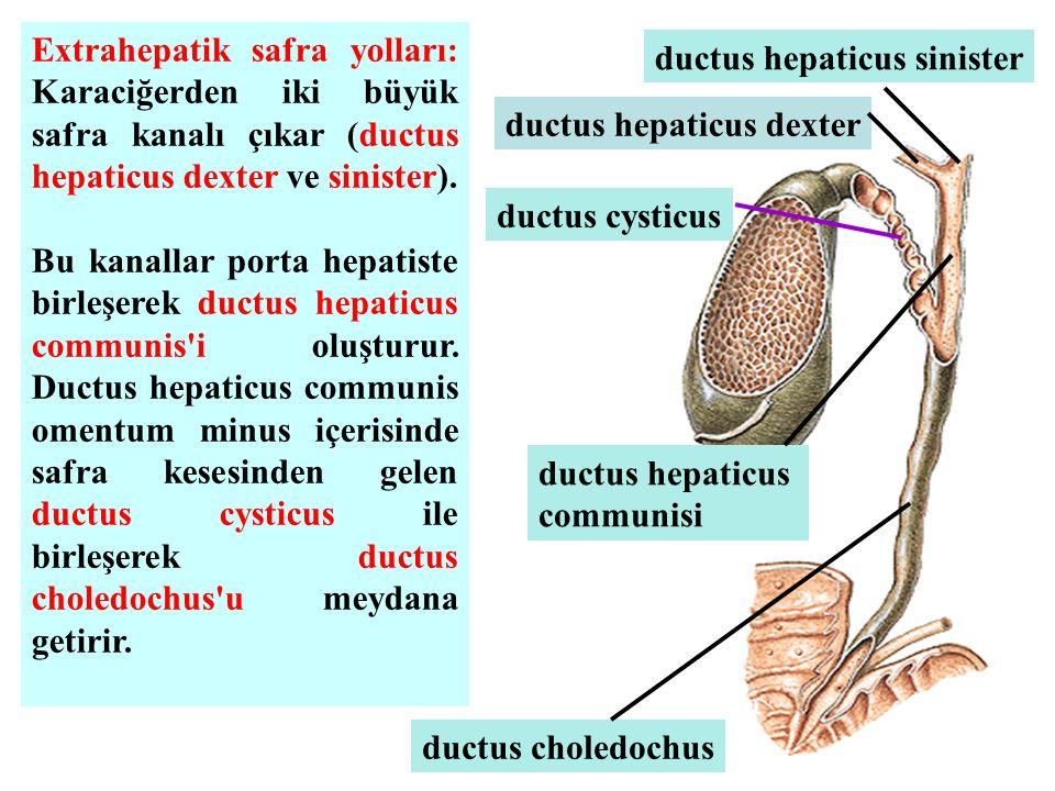 Extrahepatik safra yolları: Karaciğerden iki büyük safra kanalı çıkar (ductus hepaticus dexter ve sinister). Bu kanallar porta hepatiste birleşerek du